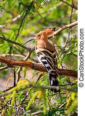 Common Hoopoe (Upupa epops) sitting in a tree