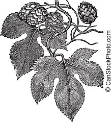 Common hop engraving - Ancient botanical engraving of common...