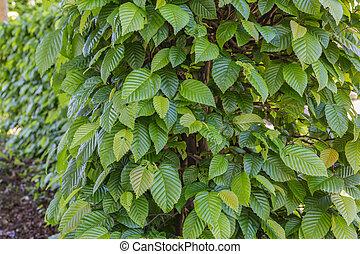 common hornbeam - carpinus betulus - Common hornbeam is...