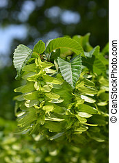 Common hornbeam - Latin name - Carpinus betulus