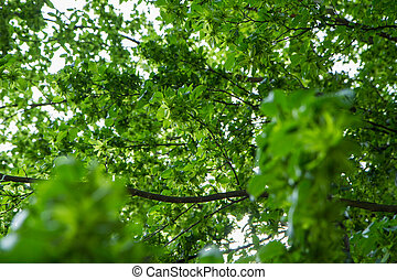 Common hornbeam tree - Common hornbeam (carpinus betulus) ...