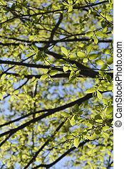 Common hornbeam tree - Latin name - Carpinus betulus