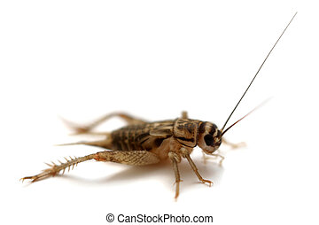 Common house cricket on white - Common house cricket, Acheta...