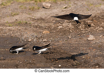 Common house martin in nest building Delichon urbicum