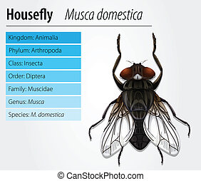 Common housefly - Musca domestica