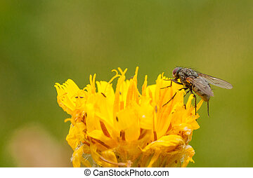 Common Housefly on a Dandelion - Macro of a common housefly...