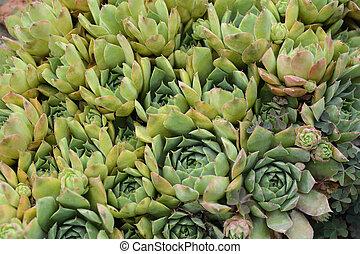 Houseleek Plant Latin Name on sage plant, lemon balm plant, poppy plant, hellebore plant, daffodil plant, lady's mantle plant, goat's beard plant, catmint plant, birch plant, lemon verbena plant, bottling plant, hops plant, thyme plant, holly plant, perennial plant, hyssop plant, yarrow plant, scilla violacea plant, gold flower plant,