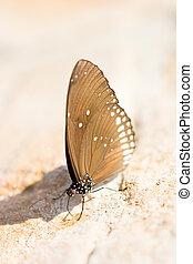 Common Indian Crow Butterflies (Euploea core).