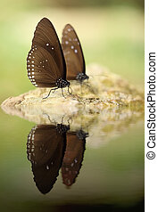 Common Indian Crow butterfly (Euploea core Lucus) with water...
