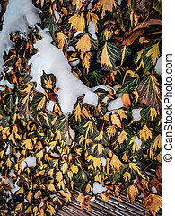 Common ivy, Hedera helix in winter under the snow