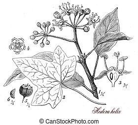 Common ivy (Hedera helix),botanical vintage engraving