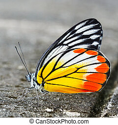 Common jezebel butterfly - Close up common jezebel butterfly...