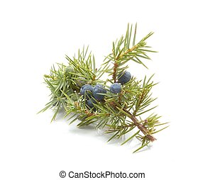 Common Juniper fruits - Common Juniper (Juniperus communis)...