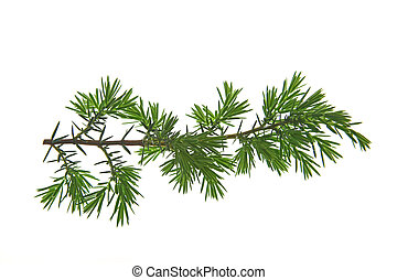 Common juniper (Juniperus communis) - Branch of common...