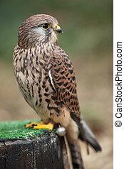 Common kestrel - Common Kestrel - Falco tinnunculus - close-...