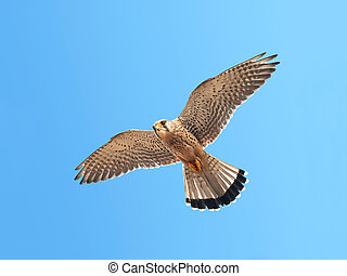 Common Kestrel in flight with blue sky in the background