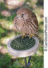 Common kestrel on a perch - Common kestrel (Falco ...