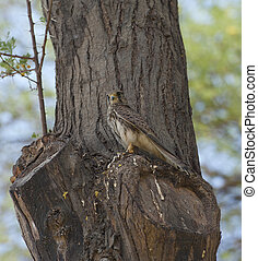 Common kestrel perched in a tree