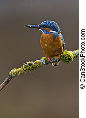 Common Kingfisher Alcedo atthis adult male