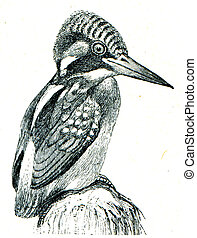 Common Kingfisher - Alcedo atthis - an illustration of the...