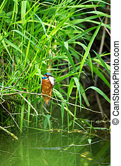 Common Kingfisher (Alcedo Atthis) - Male with Fish
