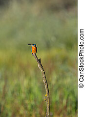 common kingfisher (alcedo atthis) sitting on branch