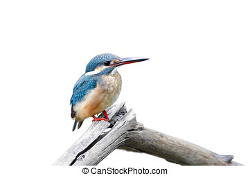 Common Kingfisher female
