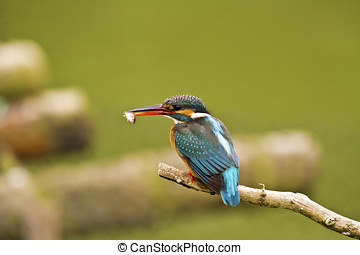 common kingfisher,Alcedo atthis
