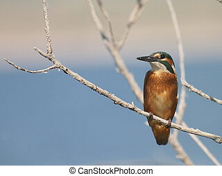Common Kingfisher,alcedo atthis