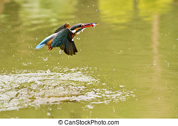 common kingfisher,Alcedo atthis - common kingfisher catch...