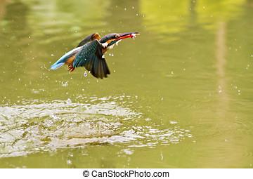 common kingfisher,Alcedo atthis - common kingfisher catch...