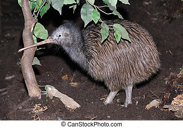 Common Kiwi - North Island brown kiwi, Apteryx australis, ...