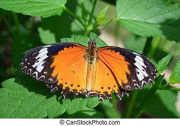 Common Lacewing Butterfly