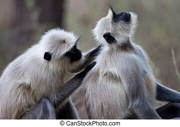 Common Langur monkeys grooming - A high resolution image of...