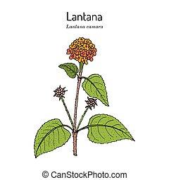 Common lantana Lantana camara , or big-sage, wild-sage, red-sage, white-sage, tickberry and umbelanterna, medicinal plant. Hand drawn botanical vector illustration