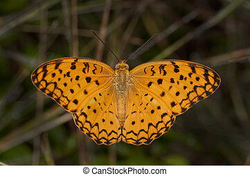Common Leopard Butterfly - Common Leopard butterfly perching...