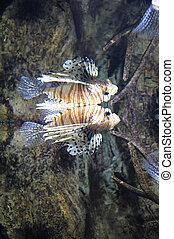 Common lionfish swimming