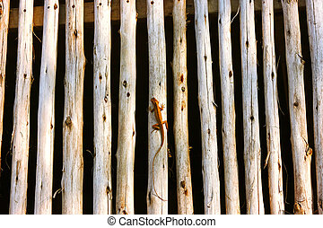 common lizard heating up on fence