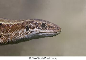 Common Lizard, Lacerta vivipara, single animal in Dorset