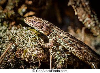 Common lizard, Zootoca vivipara in natural habitat -...