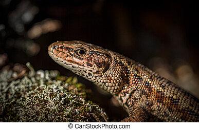Common lizard Zootoca vivipara natural habitat Norway -...
