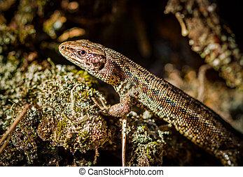 Common lizard, Zootoca vivipara - Viviparous lizard or...