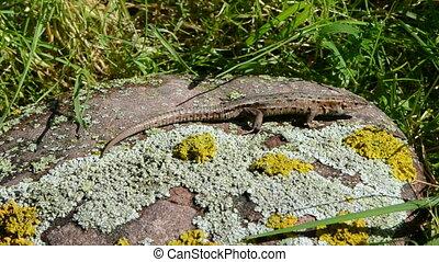 Common Lizard(Lacerta vivipara) on stone