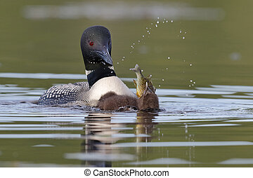Common Loon Chick Swallowing a Sunfish as Parent Looks On