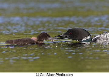 Common Loon eeding a freshly caught fish to its chick