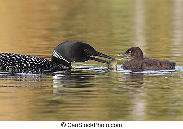 Common Loon Feeding a Fish to its Baby