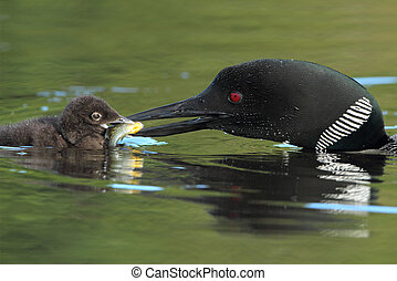 Common Loon Feeding a Sunfish to its Young Chick - Closeup...