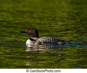 Common Loon (Gavia immer) Swimming