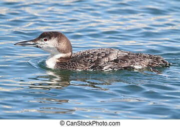 Common Loon (Gavia immer) swimming in the ocean