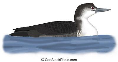 Common Loon - Gavia immer - winter